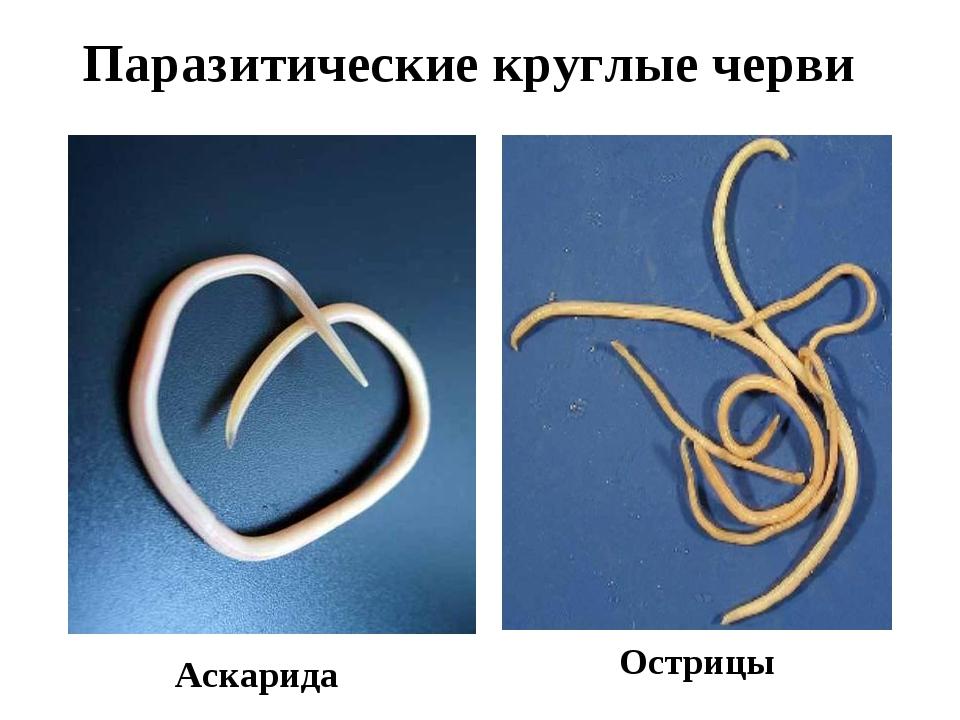 Паразитические круглые черви Аскарида Острицы