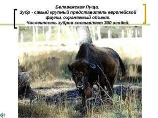 Беловежская Пуща. Зубр - самый крупный представитель европейской фауны, охран