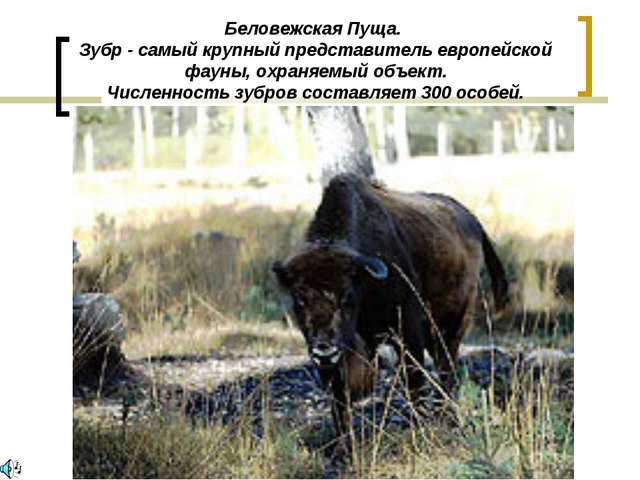 Беловежская Пуща. Зубр - самый крупный представитель европейской фауны, охран...