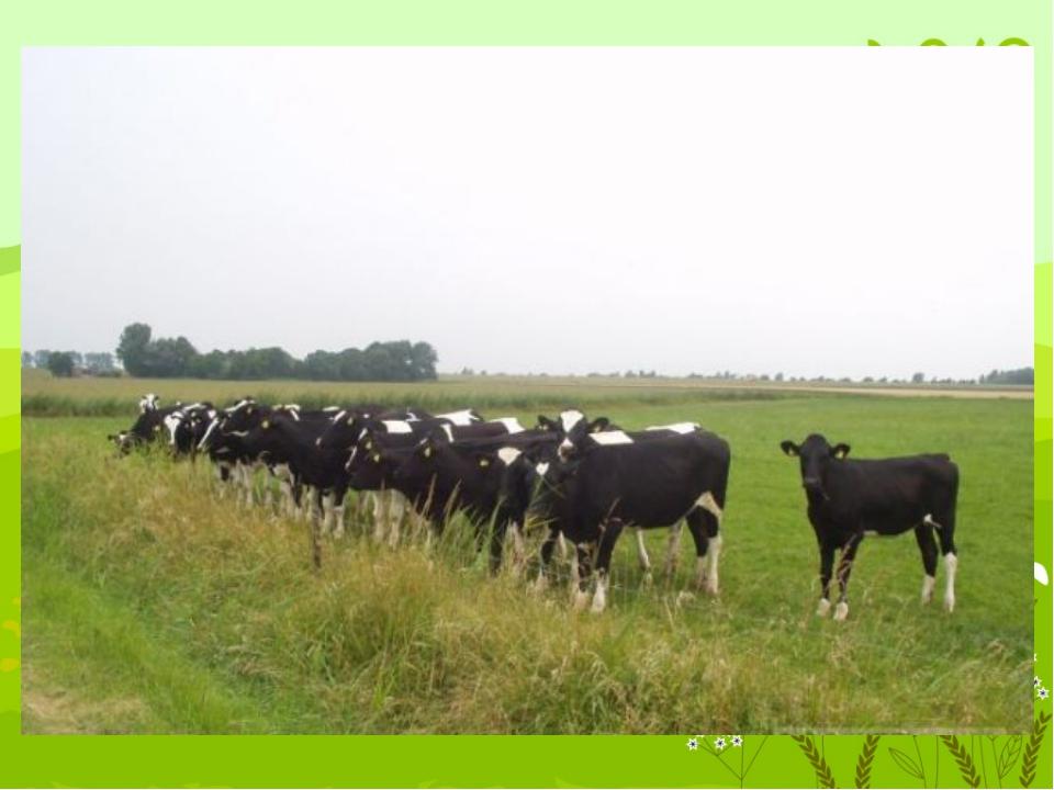 Угадать её легко. Чтобы было молоко, в поле щиплет травку снова. Кто мычит, с...