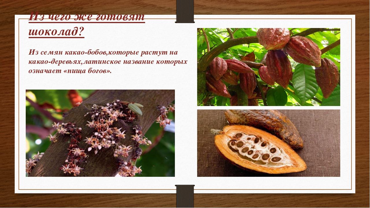 Из чего же готовят шоколад? Из семян какао-бобов,которые растут на какао-дере...