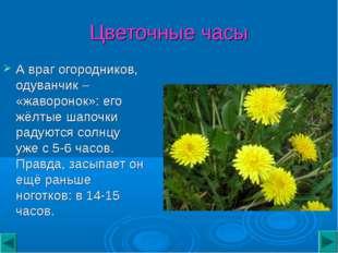 Цветочные часы А враг огородников, одуванчик – «жаворонок»: его жёлтые шапочк
