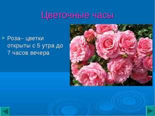 Цветочные часы Роза– цветки открыты с 5 утра до 7 часов вечера