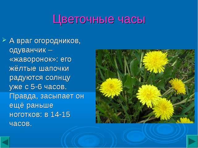 Цветочные часы А враг огородников, одуванчик – «жаворонок»: его жёлтые шапочк...