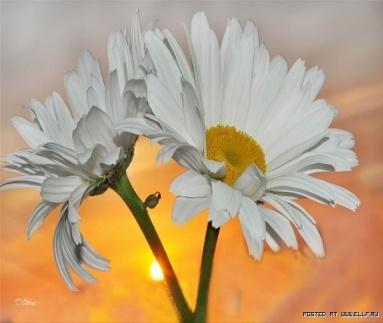 Ромашки - нежные цветы (35 фото)
