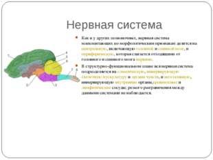 Нервная система Как и у других позвоночных, нервная система млекопитающих по