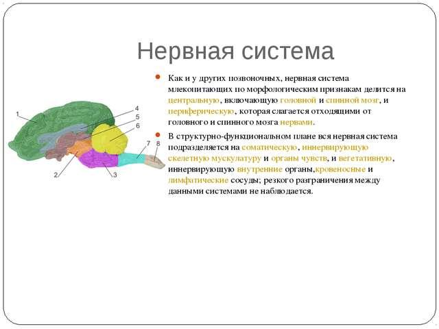 Нервная система Как и у других позвоночных, нервная система млекопитающих по...