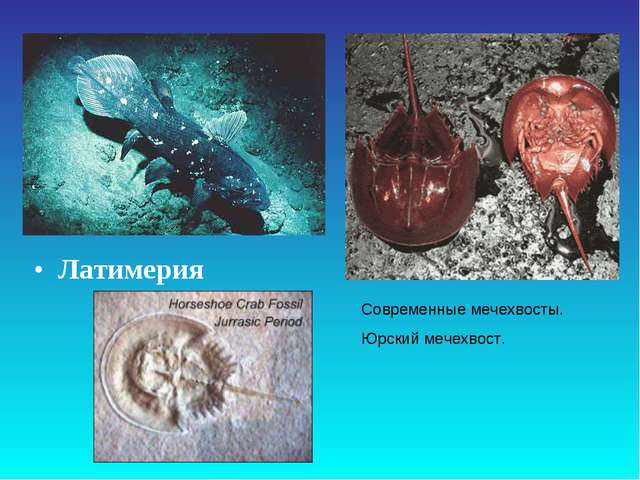 Латимерия Современные мечехвосты. Юрский мечехвост.