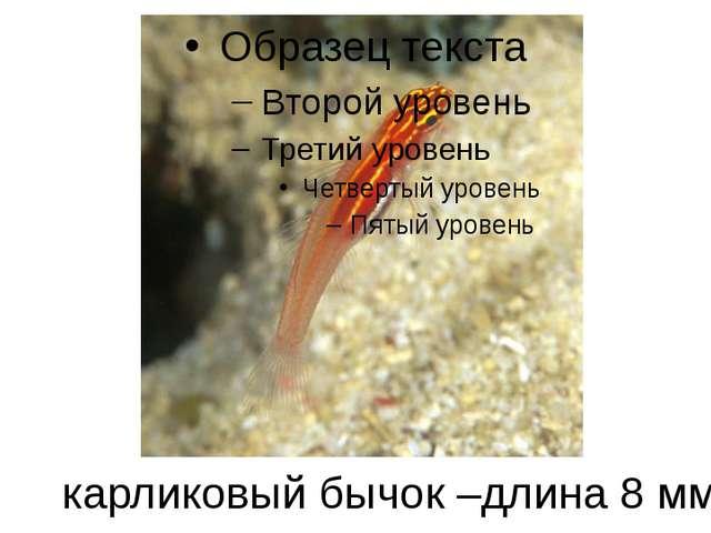 карликовый бычок –длина 8 мм
