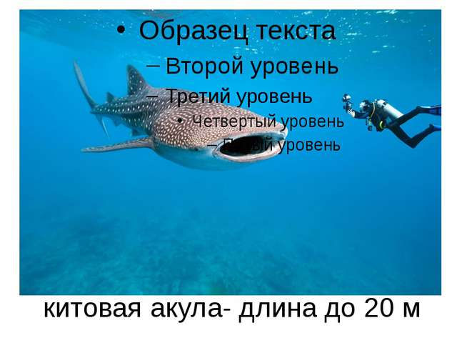 китовая акула- длина до 20 м