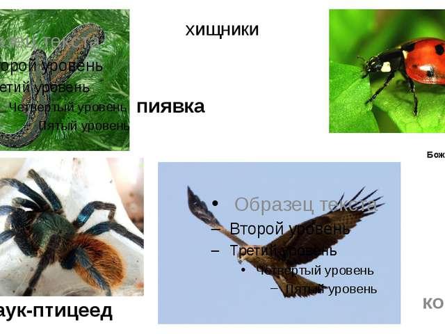 хищники Паук-птицеед коршун Божья коровка пиявка