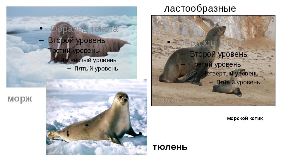 ластообразные морской котик морж тюлень