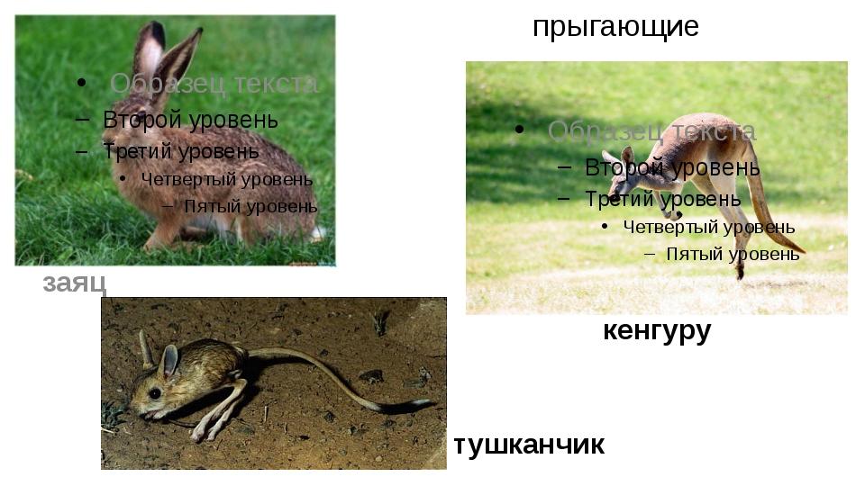 прыгающие кенгуру заяц тушканчик