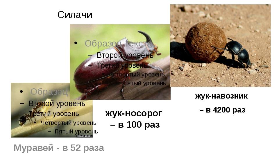 Силачи жук-навозник – в 4200 раз Муравей - в 52 раза жук-носорог – в 100 раз