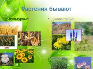 Растения бывают Культурные Дикорастущие Сорняки