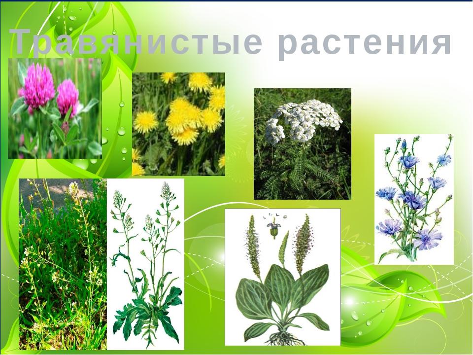 кто травянистые растения названия с картинками данной статье