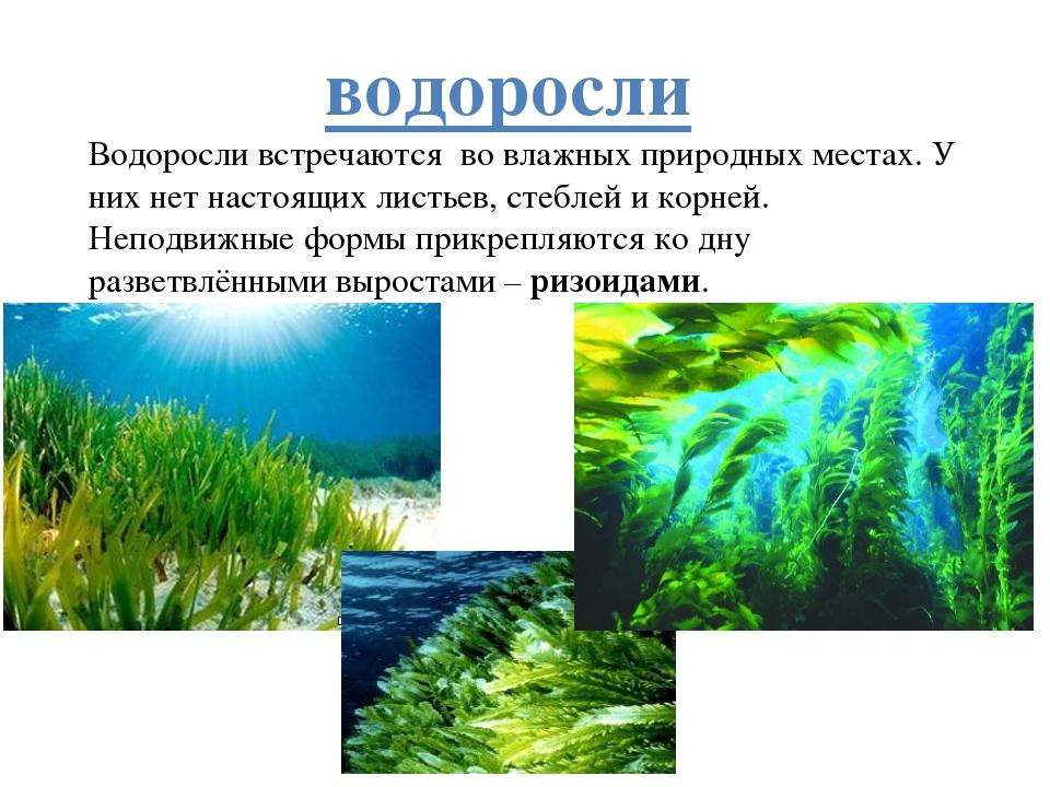 водоросли Водоросли встречаются во влажных природных местах. У них нет настоя...