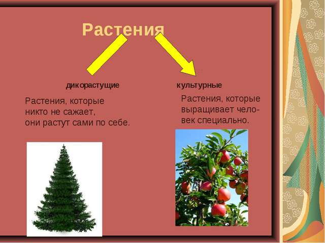 Дикорастущие и культурные растения  Растения дикорастущие культурные Растения которые выращивает чело век спец