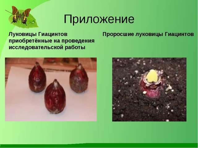 Приложение Луковицы Гиацинтов приобретённые на проведения исследовательской р...