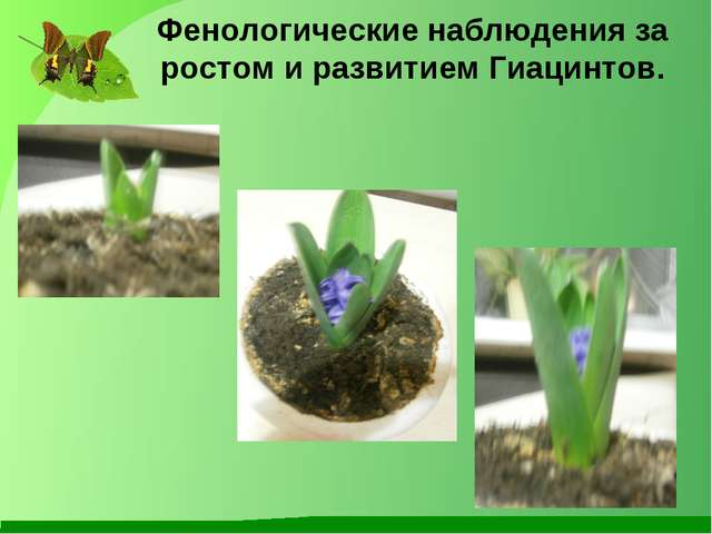 Фенологические наблюдения за ростом и развитием Гиацинтов.