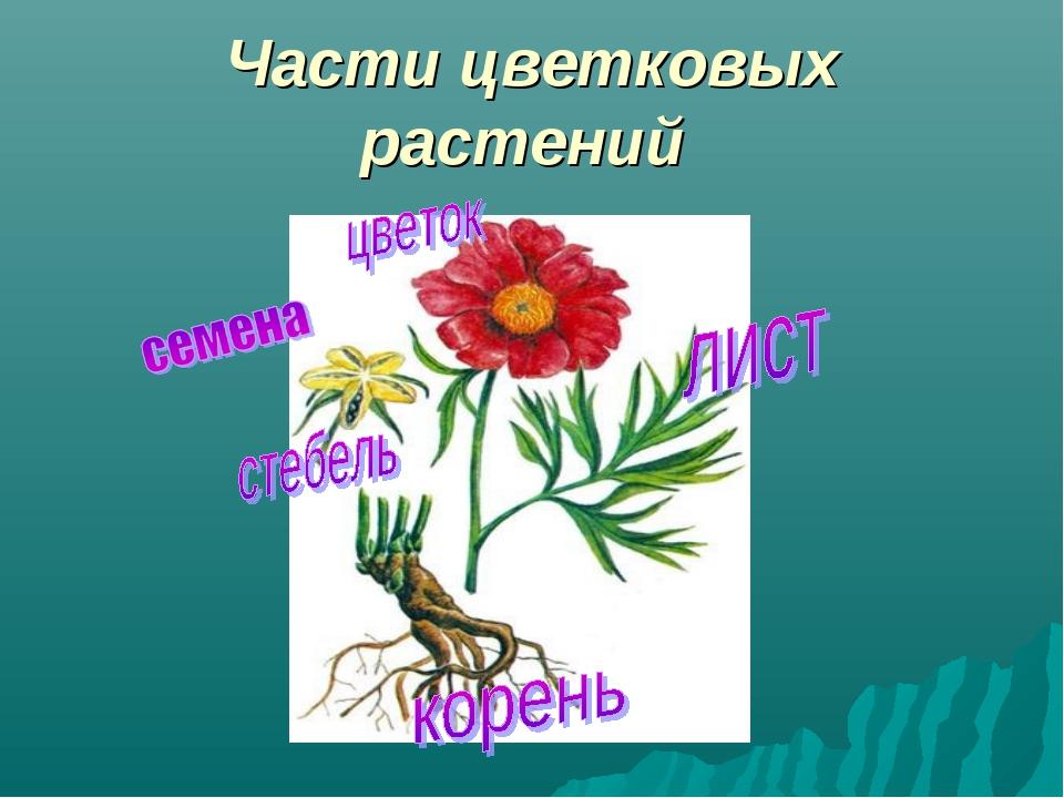 Части цветковых растений