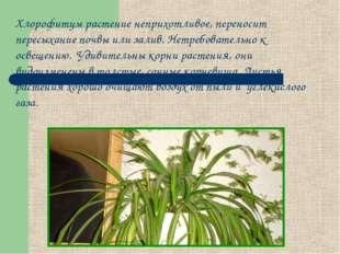 Хлорофитум растение неприхотливое, переносит пересыхание почвы или залив. Нет