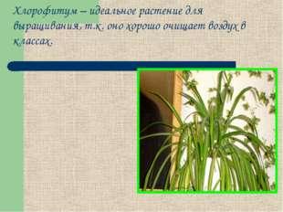 Хлорофитум – идеальное растение для выращивания, т.к. оно хорошо очищает возд