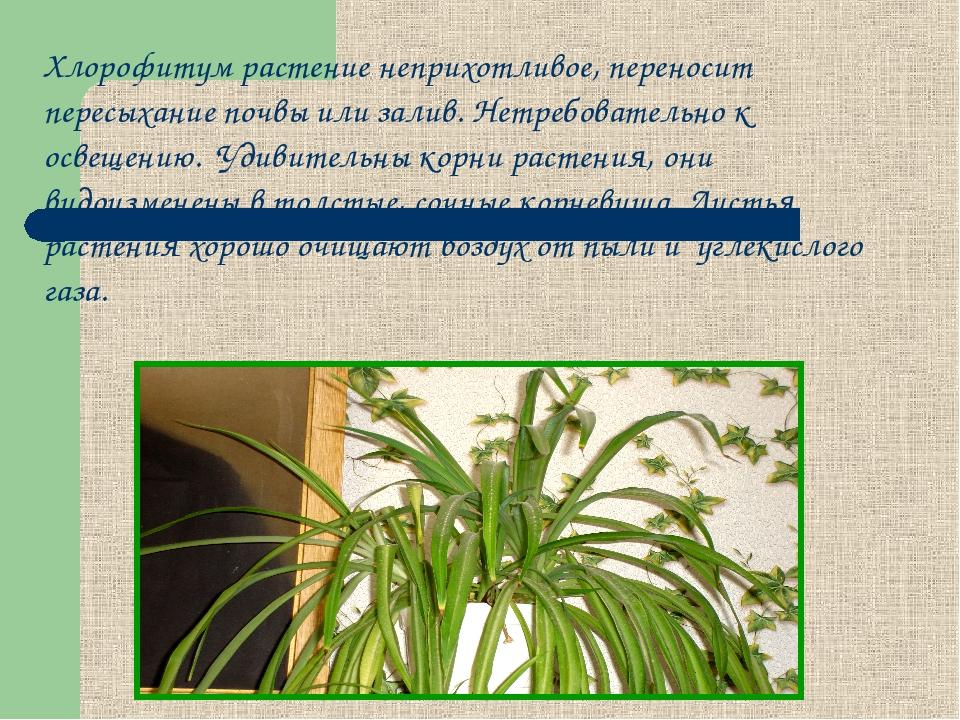 Хлорофитум растение неприхотливое, переносит пересыхание почвы или залив. Нет...