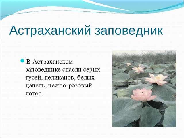 Астраханский заповедник В Астраханском заповеднике спасли серых гусей, пелика...