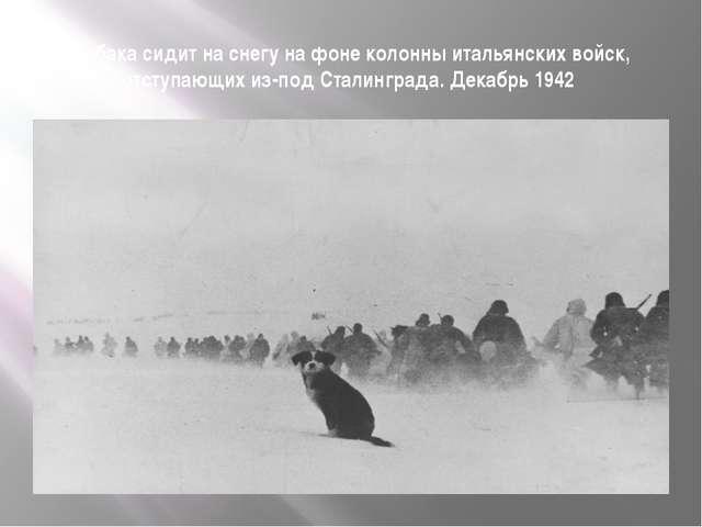 Собака сидит на снегу на фоне колонны итальянских войск, отступающих из-под С...