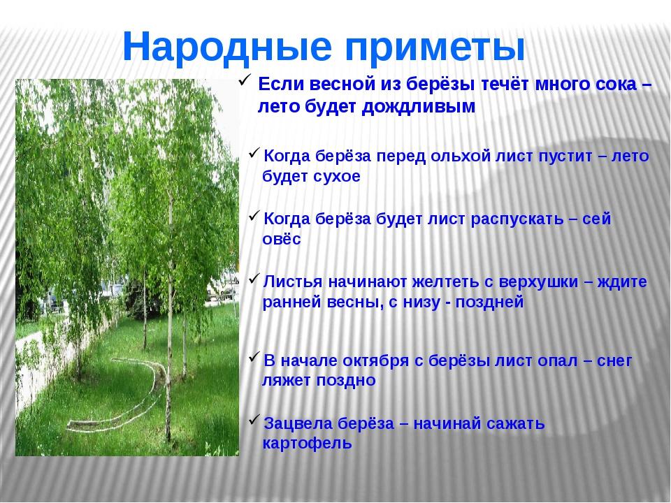 Народные приметы Если весной из берёзы течёт много сока – лето будет дождлив...