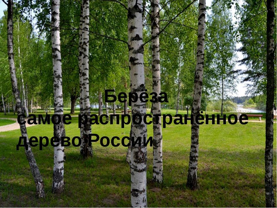 . Берёза самое распространённое дерево России