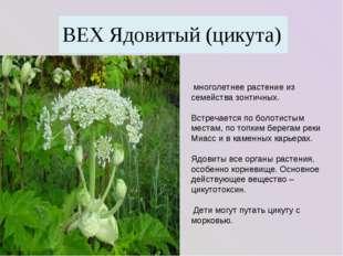 многолетнее растение из семейства зонтичных. Встречается по болотистым места