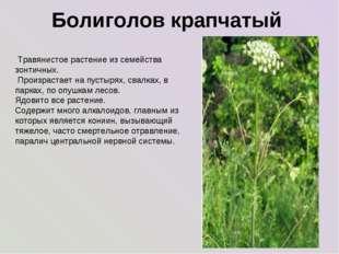Болиголов крапчатый Травянистое растение из семейства зонтичных. Произрастае