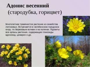 Адонис весенний (стародубка, горицвет) Многолетнее травянистое растение из с