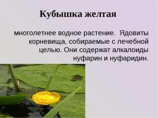 Кубышка желтая многолетнее водное растение. Ядовиты корневища, собираемые с л