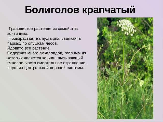Болиголов крапчатый Травянистое растение из семейства зонтичных. Произрастае...