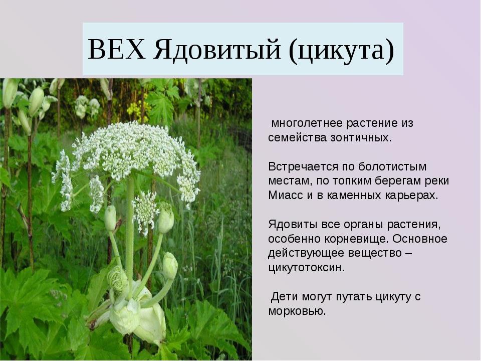 многолетнее растение из семейства зонтичных. Встречается по болотистым места...