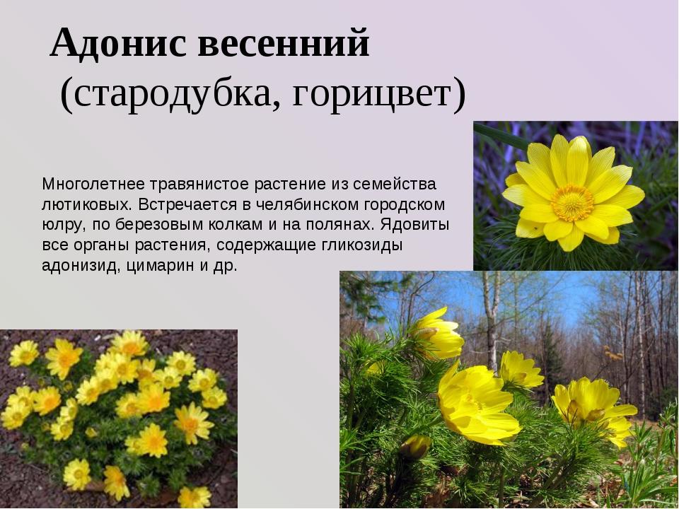 Адонис весенний (стародубка, горицвет) Многолетнее травянистое растение из с...