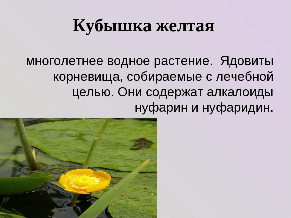 Кубышка желтая многолетнее водное растение. Ядовиты корневища, собираемые с л...