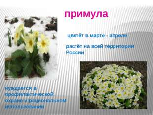 . примула цветёт в марте - апреле растёт на всей территории России нуждается