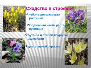 Сходство в строение небольшие размеры растений Подземная часть растения луко