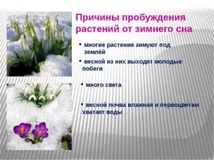 Причины пробуждения растений от зимнего сна многие растения зимуют под землё