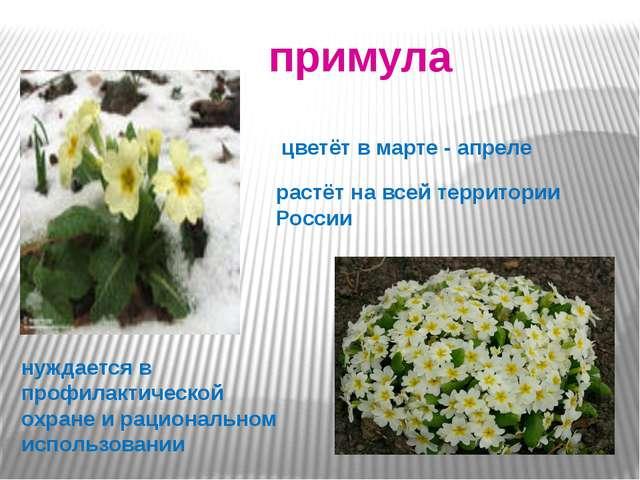 . примула цветёт в марте - апреле растёт на всей территории России нуждается...