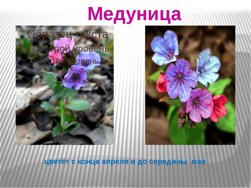 цветёт с конца апреля и до середины мая . Медуница