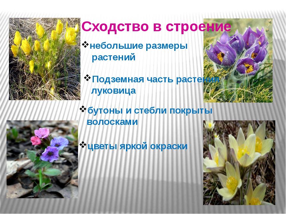 Сходство в строение небольшие размеры растений Подземная часть растения луко...