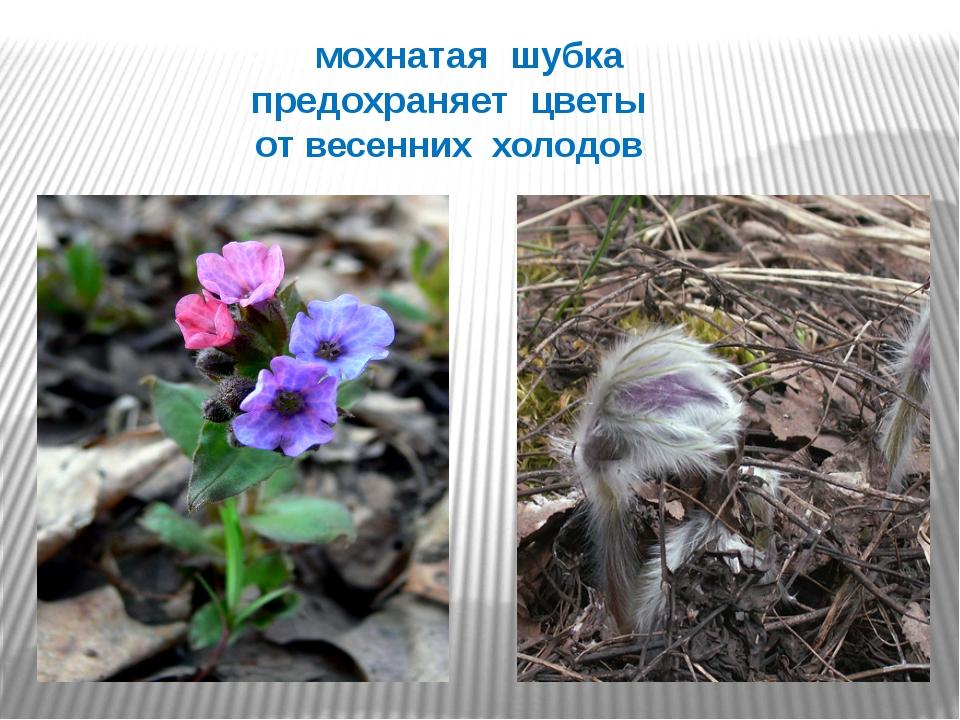 мохнатая шубка предохраняет цветы от весенних холодов