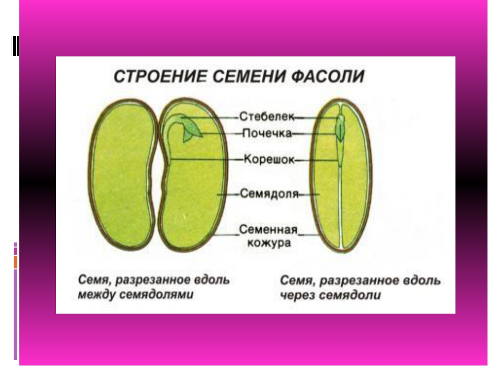 zarodish-sterzhnevaya-sistema-endosperm