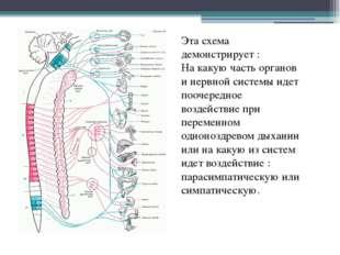 Эта схема демонстрирует : На какую часть органов и нервной системы идет пооче