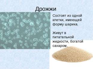 Дрожжи Состоят из одной клетки, имеющей форму шарика. Живут в питательной жид